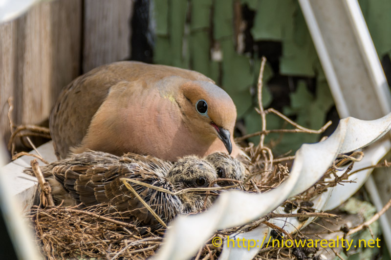 mourning-dove-babies