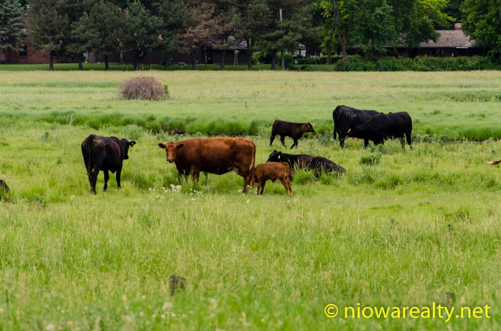 Lowline Cattle