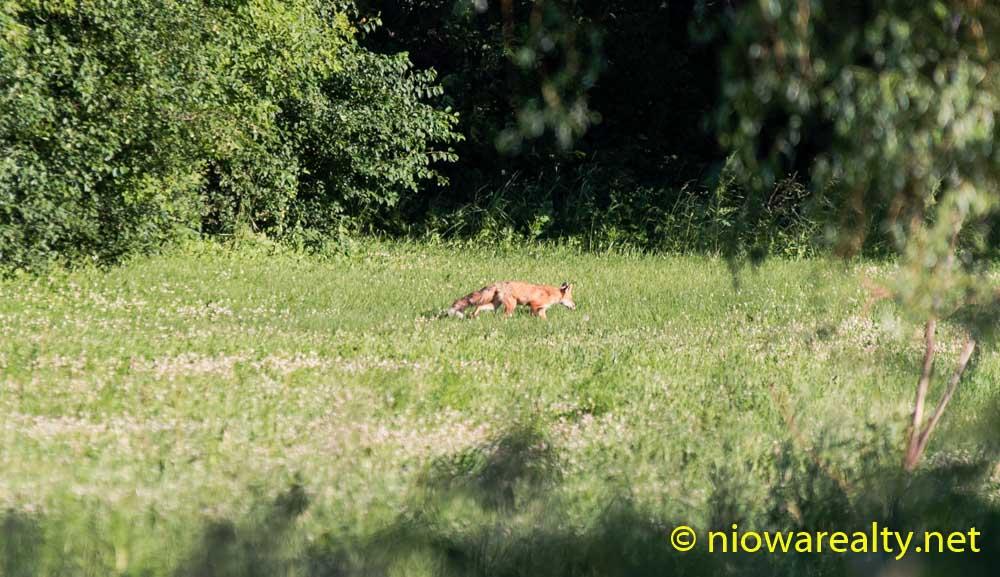 Pretty Foxy